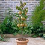 Patio Fruit Hand Pear Doyenne du Comice