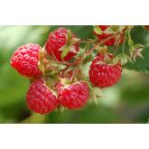 Red Summer Raspberry
