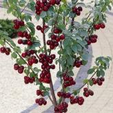 Patio Tree Cherries (Prunus Sunburst)